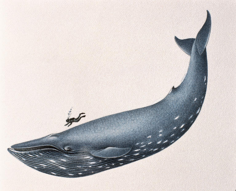 A Blue Whale, with diver for comparison. These guys are BIG. Original credit unknown.