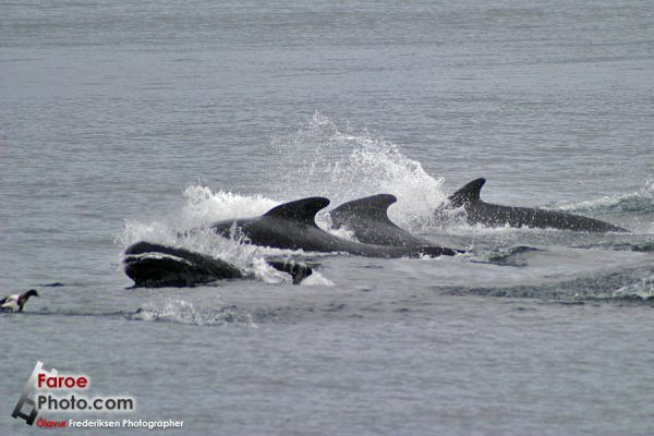 Pilot whales! Ripped from http://www.faroephoto.com/gallery/