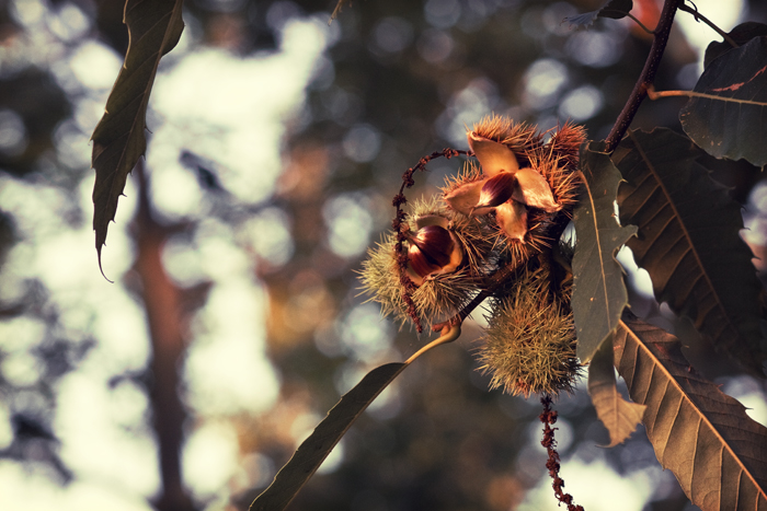 Chestnuts, still in their shells, clinging to the tree. Sunset illuminates!