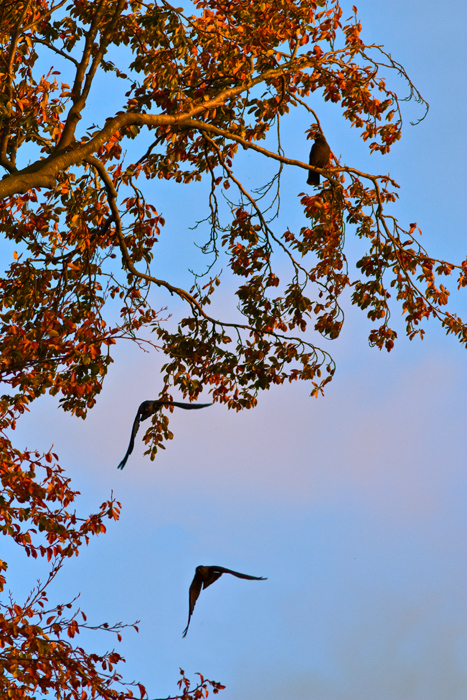 Birds in flight, at sunset, on an autumnal beech tree.