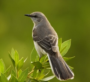 The mockingbird that will no doubt be killed before the end of the book.