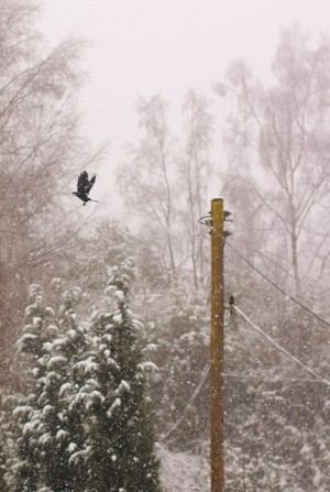 A blackbird (I think!) taking flight from the telephone pole and heading to a tree on the left. Unrelated to this blog entry.