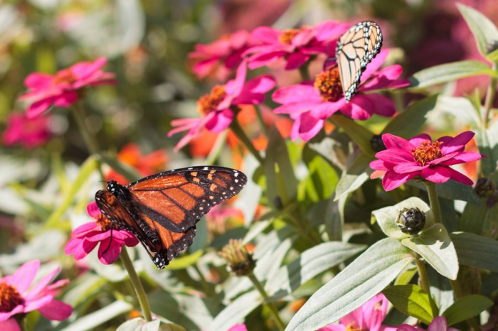 Monarch butterflies in the garden