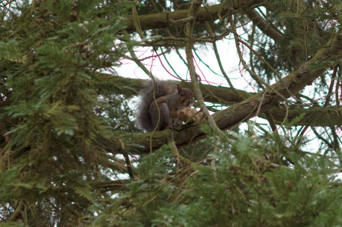 A squirrel, eating an ear of corn half way up a tree